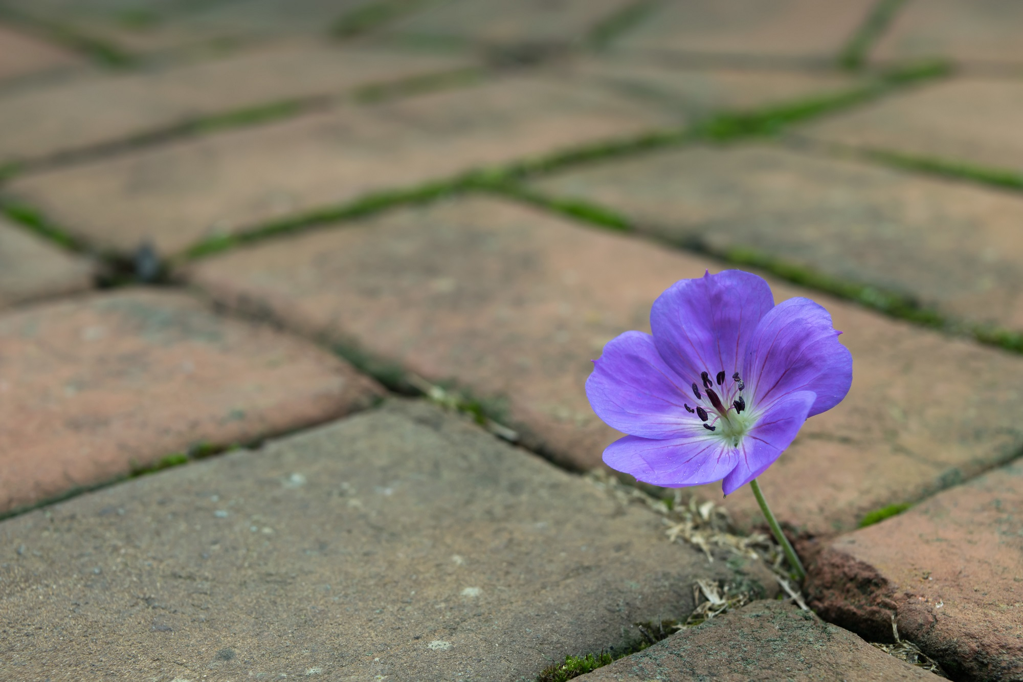 Purple flower growing out of red-brown bricks.