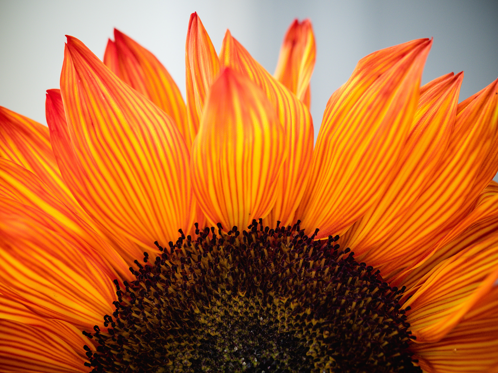 Close up of an orange sunflower