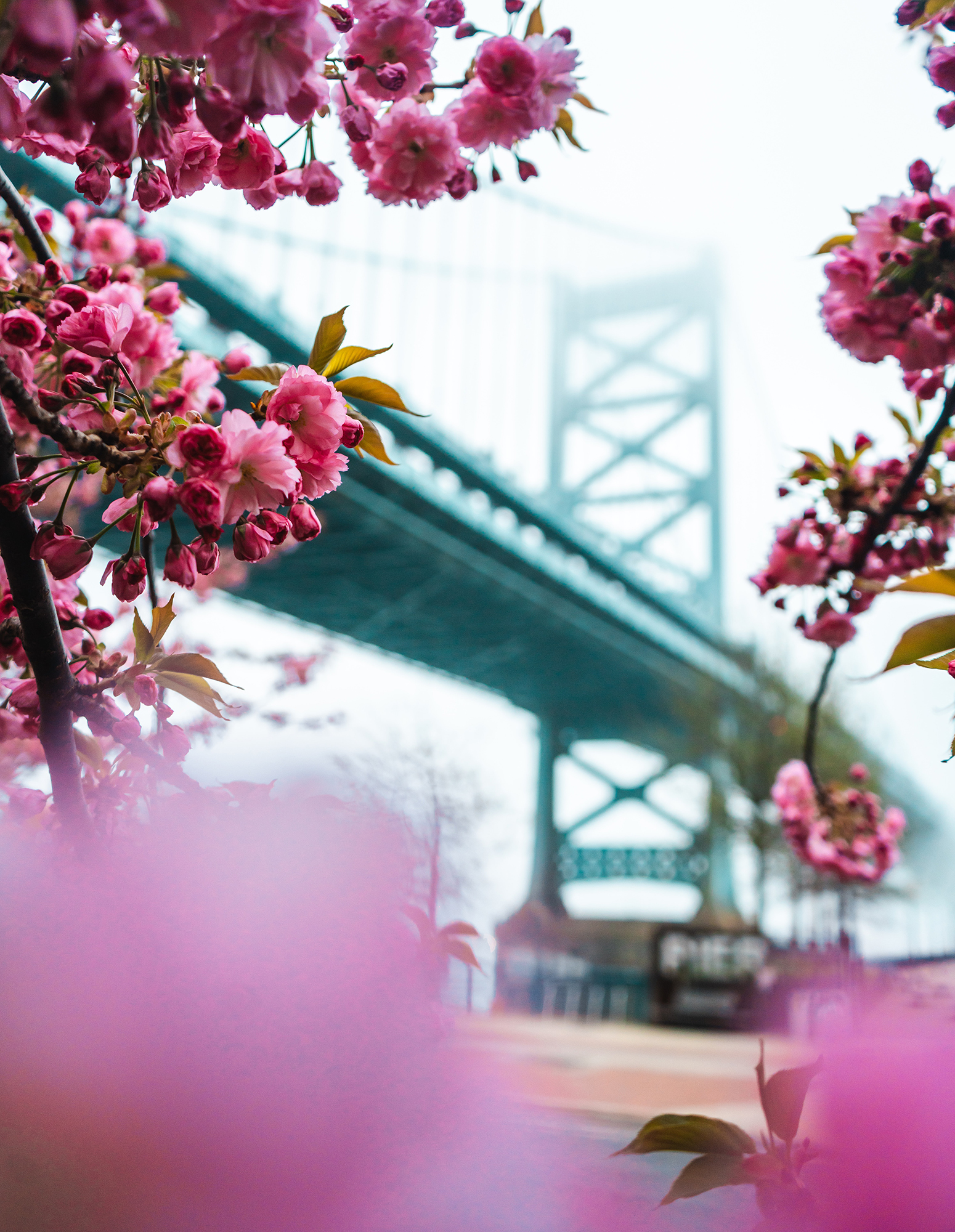 Cherry blossoms with a large, blue-grey suspension bridge in the background.